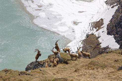 Austria, Carinthia, View of Alpine Ibex - SIEF004233