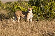 Kenya, Lion at Maasai Mara National Reserve - CB000141