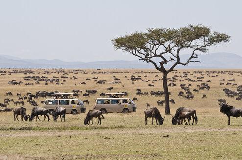 Kenya, Blue wildebeests with safari jeeps at Masai Mara National Reserve - CB000132