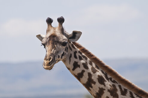 Kenya, Masai giraffe at Maasai Mara National Reserve - CB000128