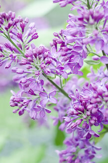 Purple lilac flowers, close up - CZF000034