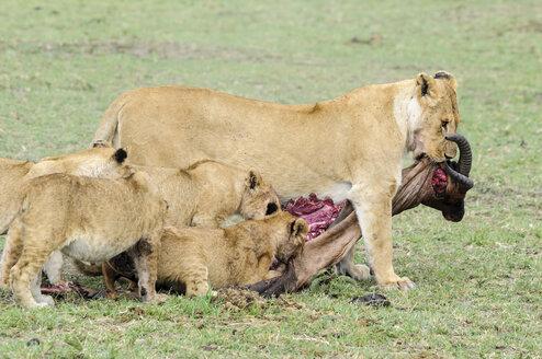 Africa, Kenya, Lion and cubs eating common tsessebe at Maasai Mara National Reserve - CB000170