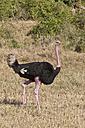 Africa, Kenya, Ostrich at Maasai Mara National Reserve - CB000153