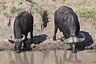 Africa, Kenya, Cape buffaloes drinking water from river  at Maasai Mara National Reserve - CB000151