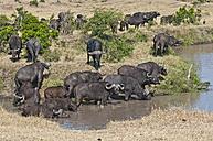 Africa, Kenya, Cape buffaloes drinking water from river at Maasai Mara National Reserve - CB000149