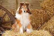 Sheltie, Shetland Sheepdog sitting at hay - HTF000010