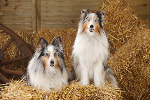 Two blue-merle Shelties, Shetland Sheepdogs at bale of straw - HTF000015