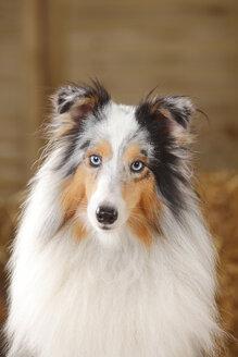 Portrait of blue-merle Sheltie, Shetland Sheepdog - HTF000017