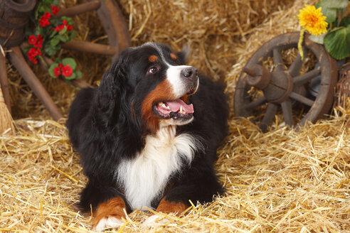 Bernese Mountain Dog lying at hay - HTF000065