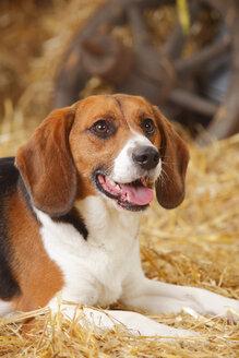 Portrait of beagle, close-up - HTF000118