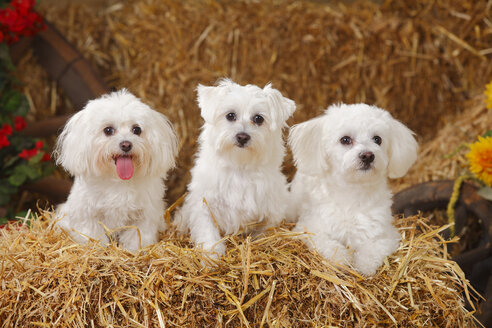 Three Maltese sitting at hay - HTF000004