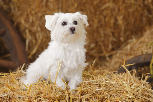 Maltese sitting at hay - HTF000006