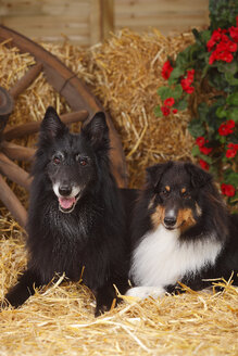 Sheltie, Shetland Sheepdog and Groenendael, Belgian Shepherd Dog lying at hay - HTF000080