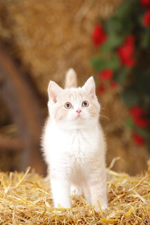 British Shorthair, kitten standing at hay - HTF000089
