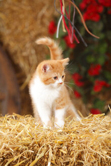 British Shorthair, kitten standing at hay - HTF000091