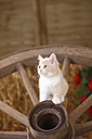 British Shorthair, kitten sitting on a cart wheel - HTF000112