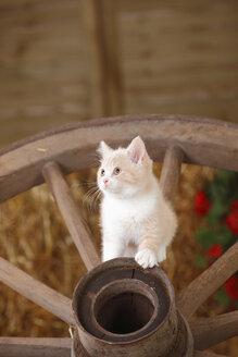 British Shorthair, kitten sitting on a cart wheel - HTF000112