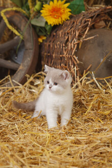 British Shorthair, kitten standig at hay - HTF000110