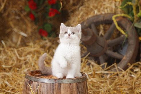 British Shorthair, kitten sitting on a tub - HTF000108