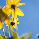Germany, North Rhine Westphalia, Duesseldorf, Thinleaf sunflower against blue sky, close up - KJ000255
