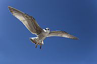 Germany, Seagull flying against blue sky - STB000027