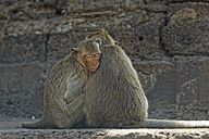Thailand, Lopburi, Crab eating macaque - GF000243