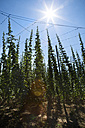 Germany, Bavaria, View of hop tree - MAEF007245
