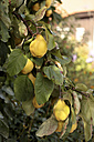 Germany, Bavaria, Quince fruit tree, close up - STB000039