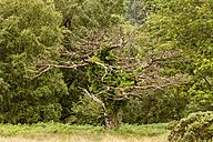 Ireland, tree at Killarney National Park - SR000335