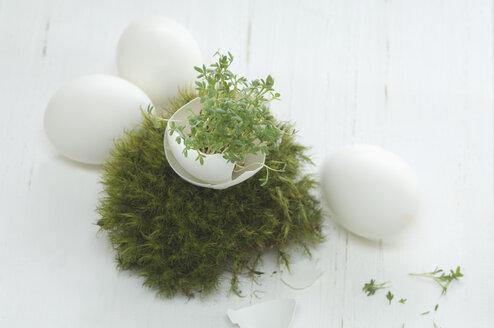 Easteregg, cress in egg shell, in moss (Sphagnum fallax) nest, studio - ASF005113