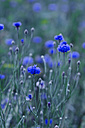 Germany, Baden-Wuerttemberg, Bruehl, blue cornflower field - CZ000074