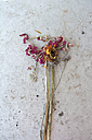 Withered flowers, studio shot - AX000490