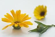 Pot Marigold (Calendula officinalis), medical plant, studio shot - CR002492
