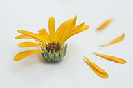 Pot Marigold (Calendula officinalis), medical plant, studio shot - CR002493