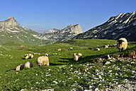 Montenegro, Durmitor National Park, Alpine pasture with sheep - ES000544