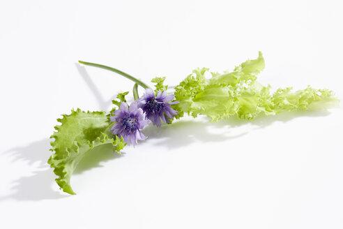 Blooming Endive (Cichorium endivia) - CSF020023
