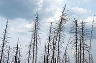 Germany, Saxony-Anhalt, Harz, Forest dieback by bark-beetles - ALE000072