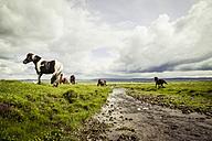 Iceland, Icelandic horses on grassland - MBEF000739