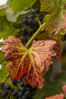 Germany, Thuringia, wine leaf with grapes - SJF000064