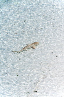 Maldives, Lhaviyani atoll, Komandoo island, blacktip reef shark in water - GNF001271