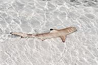 Maldives, Lhaviyani atoll, Komandoo island, blacktip reef shark in water - GNF001267