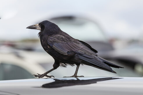 Ireland, County Clare, Rook on car roof - SRF000366