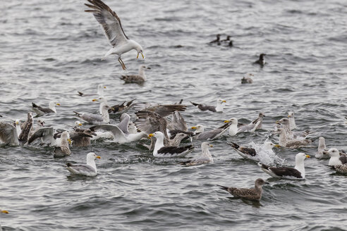 Ireland, County Clare, Lesser black-backed gulls at sea - SRF000348