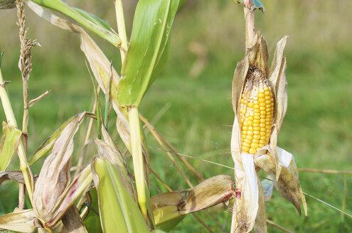 Germany, Hesse, Hunfelden, corn cob in field - MHF000224