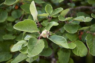 Quince tree with fruit (Cydonia oblonga) - SRSF000319