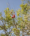 Spain, Mallorca, Sineu, pomegranate tree - HL000263
