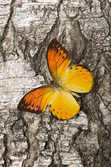 Orange butterfly on bark - AWDF000713