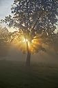 Germany, Bavaria, Landshut, trees and morning mist - SARF000132