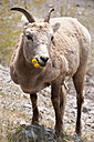 Canada, Alberta, Japser National Park, Bighorn sheep, Ovis canadensis, eating - UMF000652