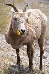 Canada, Alberta, Japser National Park, Bighorn sheep, Ovis canadensis, eating - UMF000652